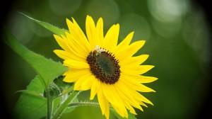 Desktop Wallpaper: Sunflower Flower