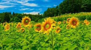Desktop Wallpaper: Yellow Sunflower