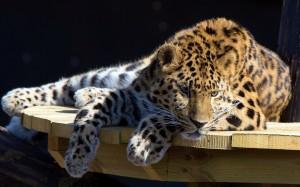 Desktop Wallpaper: Leopard Animal