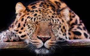 Desktop Wallpaper: Brown Leopard