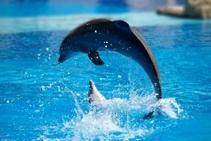 Desktop Wallpaper: Gray Dolphin
