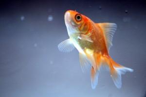 Desktop Wallpaper: Orange Goldfish