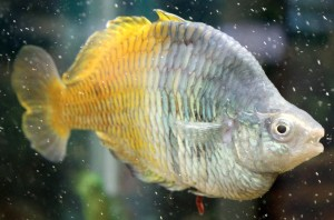 Desktop Wallpaper: Gray And Yellow Fish