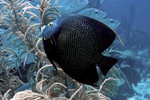 Desktop Wallpaper: Black Underwater Fis...