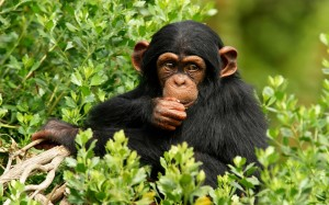 Desktop Wallpaper: Black Monkey Sitting...
