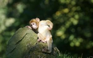 Desktop Wallpaper: Brown Monkey Scratch...