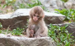 Desktop Wallpaper: Monkey Sitting On Gr...