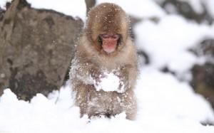Desktop Wallpaper: Brown And Tan Primat...