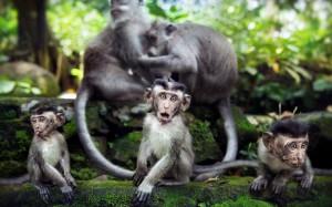 Desktop Wallpaper: 5 Grey Monkeys In A ...