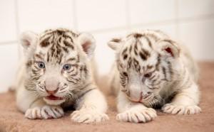 Desktop Wallpaper: White Tiger Cubs