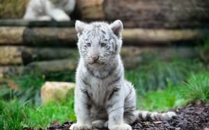 White And Gray Tiger Cub Sitting On Grass - скачать обои на рабочий стол