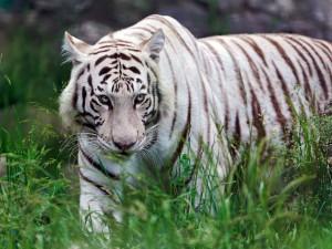 Desktop Wallpaper: Albino Tiger At The ...