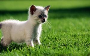 Desktop Wallpaper: White Kitten On Gree...