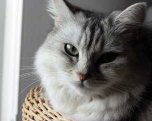 Desktop Wallpaper: Silver Tabby Cat