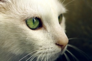 Desktop Wallpaper: White Cat In Selecti...