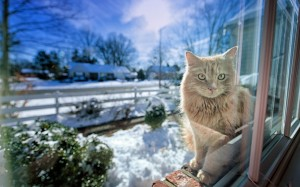 Desktop Wallpaper: Brown Mainecoon Cat ...