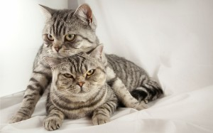 Desktop Wallpaper: Silver Tabby Cats Ly...