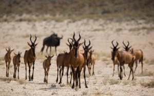 Desktop Wallpaper: Herd Of Gazelle On G...