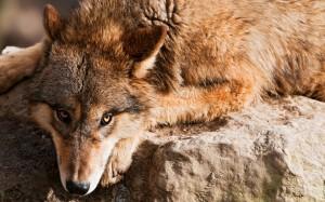 Desktop Wallpaper: Brown Wolf Lying On ...