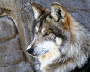 Desktop Wallpaper: Brown And White Wolf...