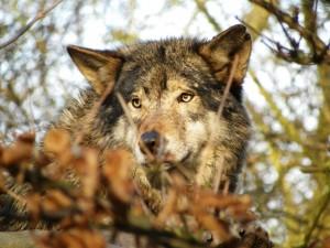 Desktop Wallpaper: Brown Wolf In Close ...