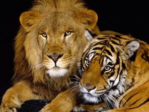 Desktop Wallpaper: Lion and Tiger
