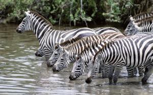 Desktop Wallpaper: Zebras Drinking Wate...