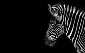 Desktop Wallpaper: Zebra Animal