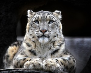Desktop Wallpaper: Albino Tiger Lying O...