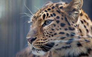 Desktop Wallpaper: Brown Cheetah