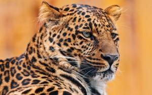 Desktop Wallpaper: Large Cheetah