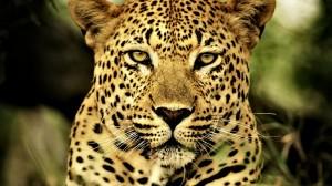 Desktop Wallpaper: Cheetah Up Close Pho...
