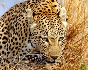 Desktop Wallpaper: Brown Leopard On Bro...