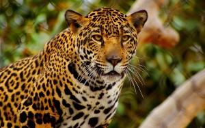 Desktop Wallpaper: Jaguar Animal