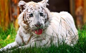 Desktop Wallpaper: White Tiger Sitting ...