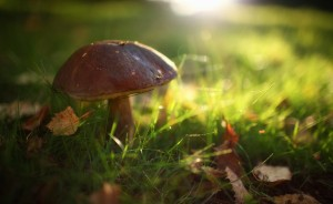 Desktop Wallpaper: Brown Mushroom In Gr...