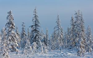 Desktop Wallpaper: Pine Trees On Snowfi...