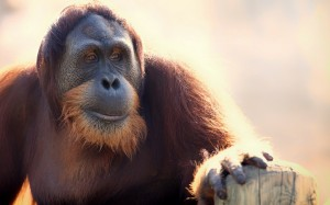 Desktop Wallpaper: Orangutan Primeape