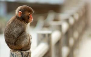 Desktop Wallpaper: Brown Monkey Sitting...