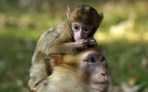 Desktop Wallpaper: Brown Monkey On Top ...