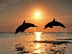 Desktop Wallpaper: Two Dolphins