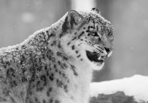 Desktop Wallpaper: Snow Leopard