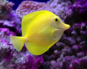 Desktop Wallpaper: Yellow Tang Fish Und...