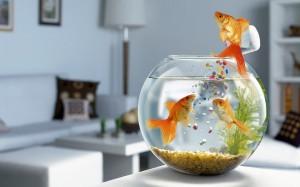 Desktop Wallpaper: Orange Fish On Fish ...