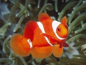 Desktop Wallpaper: Orange Fish with Thr...