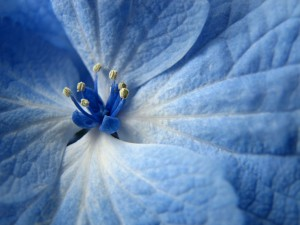 Desktop Wallpaper: White And Blue Flowe...