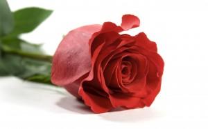 Desktop Wallpaper: Red Rose