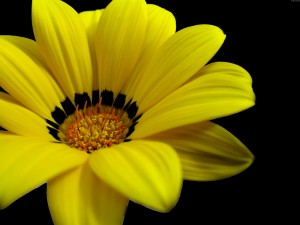 Desktop Wallpaper: Yellow Cosmos Agains...