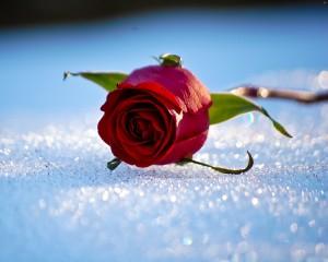 Desktop Wallpaper: Red Rose With Green ...