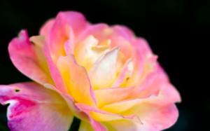 Desktop Wallpaper: Pink And Yellow Flow...